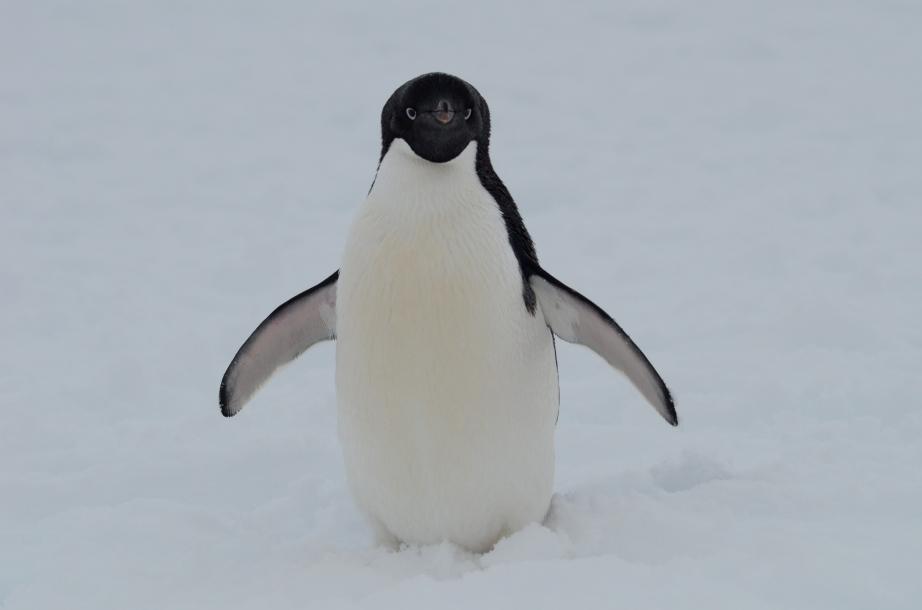Solo Penguina