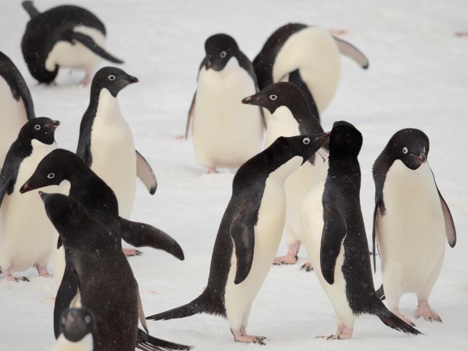 Interactive Penguinas